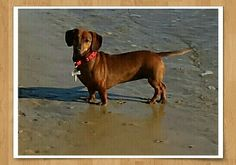 Dachshund  on the beach!