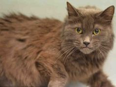 **PYOMETRA** Super Urgent Manhattan - CHICHI - #A0916722 - **RETURN**SPAYED FEMALE, GRAY DOMESTIC MH, 8 Yrs - STRAY - ONHOLDHERE, HOLD FOR ID Intake 12/30/16 Due Out 01/08/17 - CAME IN WITH AJAX #A1100753