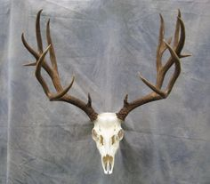 Mule deer European skull mount; Harvested in the Rocky Mountains of Colorado