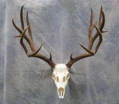 Showpiece Taxidermy: Deer & Elk European Skull Mounts - Animals and pets Elk Skull, Deer Skulls, Skull Art, Animal Skeletons, Animal Skulls, Antelope Skull, Deer Skull Tattoos, Hirsch Tattoo, Skull Reference