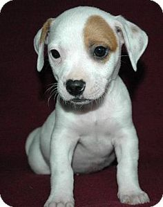 Fowlerville, MI - Jack Russell Terrier/Chihuahua Mix. Meet Thea, a puppy for adoption. http://www.adoptapet.com/pet/11570002-fowlerville-michigan-jack-russell-terrier-mix