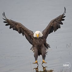 """The moment of almost touchdown -looks like he's landing on a mirror! Great photography!! Sasse:""""Comment: There is a moment, a split second, where the surface tension of water is on the verge of being broken, by a mighty talon """""""