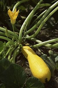 TIPS ON GROWING YELLOW SQUASH didn't see about squash, but lots of other garden tips