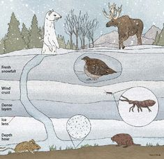 "{Picture Credit: Marco Cibola}  Subnivean refers to a zone that is in or under the snow layer. From the Latin for ""under"" (sub) and ""snow"" (nives).  Subnivean animals include small mammals such as mice, voles, shrews & lemmings that must rely on winter snow cover for survival. These mammals move under the snow for protection from heat loss & some predators."