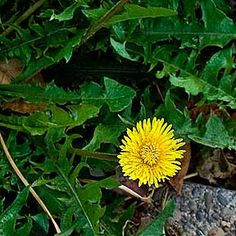 Dandelion - The Liver Cleanser, by the Practical Herbalist