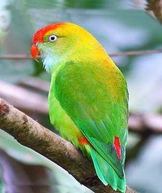 Ceylon or Sri Lanka hanging Parrot (Loriculus berylinus)