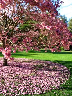 pink trumpet tree, Australia