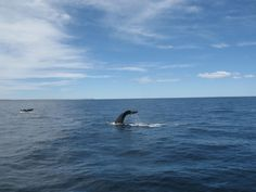 Whale watching season in Argentine Patagonia extends from May to December. The best chances of success are during September and October. You cannot miss this wonderful show that is renewed and happens every year.