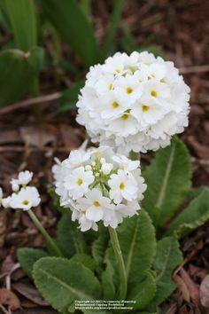 Kúlulykill (Primula denticulata) 'Alba'