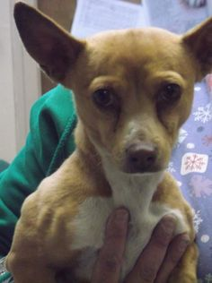 Hi I'm Frito, A Chihuahua that was brought into the shelter as a stray and unfortunately my family never came to find me. I am a sweet boy who would love find his forever home. I am Neutered, Micro-Chipped, and up to date on my Vaccines