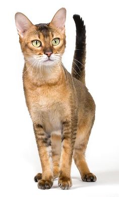 The Chausie is a breed of cat native to USA. This cat is characterized by its structure which approaches it to the Chaus ( Felis chaus ).  The Chausie is the result of hybridization between a Chaus and a tamed cat.