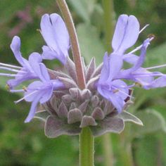 Sage: Best Time to Plant Drought Resistant CA Natives Blue And Purple Flowers, Lavender Flowers, Mail Order Plants, California Native Plants, Hummingbird Garden, How To Attract Hummingbirds, Drought Tolerant Plants, Fall Plants, Succulent Arrangements