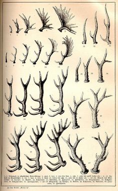 Growth stages. Antlers