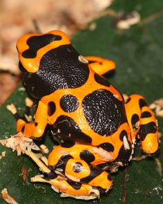 Yellow-banded poison dart frog, Dendrobates leucomelas ~ By Grant and Carolines pix