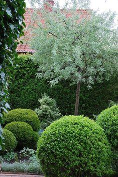 Hopeapäärynä @ Katarinas trädgård Silver pear (Pyrus salicifolia Pendula) Weeping, silvery foliage and white little flowers at spring. Small decorative pears at autumn. Height approximately 80 cm
