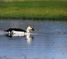 #comb #duck #knob #duck #wild #wildlife #wildlifephotography #nature #bird #birdsofinstagram #bestbirdshots #all_mighty_birds #bestoftheday #your_best_birds #nuts_about_birds #instamood #indian_photographers_club #inspiring_photography_admired #igers #picoftheday #photooftheday #photography #photographer #wanderlust #canonphotography by shubham.akolkar