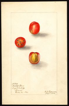 Artist:     Passmore, Deborah Griscom, 1840-1911  Scientific name:     Spondias purpurea  Common name:     red mombins  Variety:     Scarlet Plum  Geographic origin:     Miami, Dade County, Florida, United States  Physical description:     1 art original : col. ; 17 x 25 cm.  Specimen:     31723  Year:     1904  Notes on original:     Purple mombin  Date created:     1904