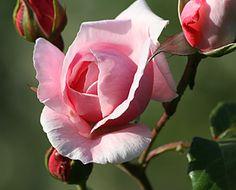 Beauregard Accommodation in Matakana - rose from the garden
