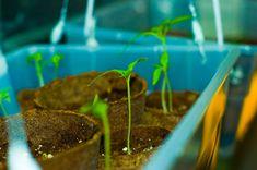 Tomato seedlings growing indoors