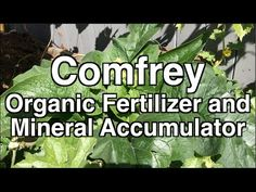 Commonly comfrey is cultivated for two uses and promoted by growing methods like Permaculture. Comfrey is often used in organic gardening as a fertilizer and. Compost Mulch, Garden Compost, Garden Soil, Vegetable Garden, Organic Gardening Tips, Organic Fertilizer, Organic Farming, Candida Albicans, Grow Organic