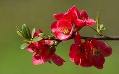 цветы, весна, цветение, Ветка, айва, бутоны, природа