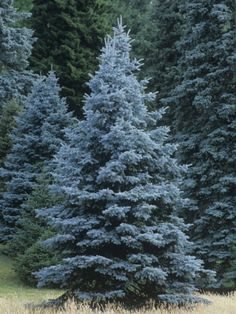 Colorado Blue Spruce (Picea Pungens), Colorado State Tree by Ned Therrien