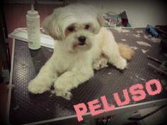 El viernes nos hizo una visitilla Peluso. Quería un baño y un recorte de cara y patas para llegar guapísimo al fin de semana .  Así quedó... ¿habrá ligado? #mascotas #peluqueriacanina #granada #perros