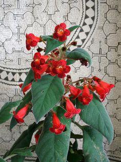 https://flic.kr/p/ajwfuB | Kohleria Dragon's Blood plant
