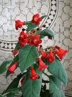 https://flic.kr/p/ajwfuB   Kohleria Dragon's Blood plant