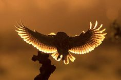 Little Owl (Athene noctua) flying to stump with backlit sunset