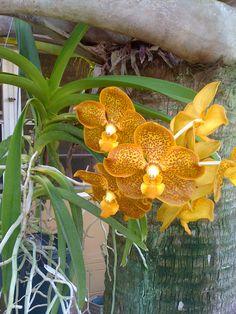 My Vanda Orchid