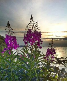 Beautiful Anchorage sunset with Fireweed