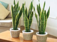 Sansevieria trifasciata is also commonly called the snake plant or the mother in law's tongue. It is a very tolerant indoor plant that it is easy to care Sansevieria Trifasciata, Cactus Plants, Garden Plants, Plants Indoor, Hanging Plants, Foliage Plants, Air Purifying Indoor Plants, Indoor Plants For Oxygen, Mini Cactus Garden