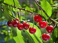 My cherry tree in the front yard is enjoying the sunshine Cherry Farm, Cherry Tree, Sour Cherry, Prune Fruit, Fruit List, Fruit Picture, Frozen Cherries, Beautiful Fruits, Enjoy The Sunshine