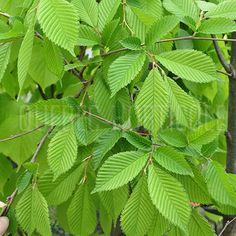 image de Ulmus x 'Accolade' ou Morton Plant Leaves, Plants, Photos, Image, Gardens, Fast Growing, Flower Colors, Carpentry, Index Cards