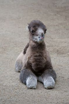 This has got to be the cutest ugliest animal I've ever seen lol Baby Male Bactrian Camel Rare Animals, Cute Baby Animals, Animals And Pets, Funny Animals, Animal Babies, Strange Animals, Wild Animals, Alpacas, Beautiful Creatures