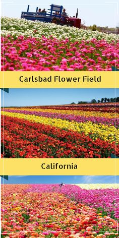 Carlsbad Flower Fields is a must visit beautiful place near San Diego, California . Best place for a photography