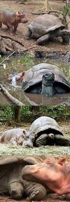 Hippo and his tortoise pal. :-)