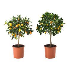 CITRUS Potteplante, blandede arter