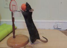 Pet Rat Tricks Might Surprise You