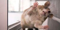 """""""O Grito do Bicho"""": Os animais que detetam tuberculose, cancro e minas..."""