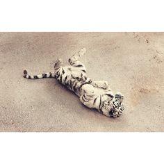 El gatete quieren que le rasquen la barriga #tigre #cabarceno #cantabria #tiger