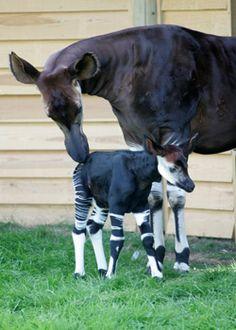 Okapi with calf