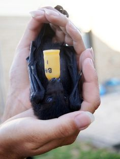 Baby flying fox with milk bottle   Flickr - Photo Sharing!