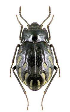 Pterochaos nebulosus, Goliath beetle, Gyriosomus parvus - Alain.R.Truong