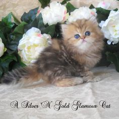 Golden Teacup Persianmy Daughter Wants One Of These For Her Bday...its  Called