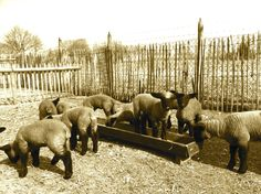 all lambs Suffolk Sheep, Lambs, Goats, Animals, Animales, Animaux, Animal, Animais, Goat