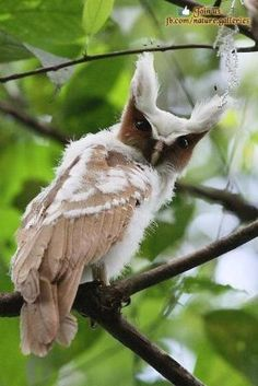 Crested Owl Hey, you've heard of a bad hair day, haven't you??
