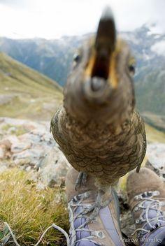 Kea, New Zealand's mountain parrot. Photo: Andrew Walmsley #nzbirds