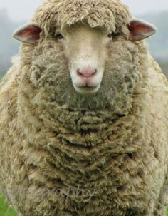 """Ewe's not fat ... Ewe's fluffy!""                                                                                                                                                                                 More"